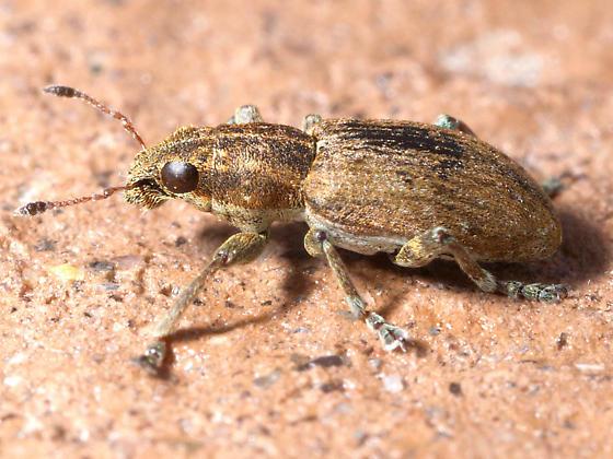 Weevil - Sitona lepidus