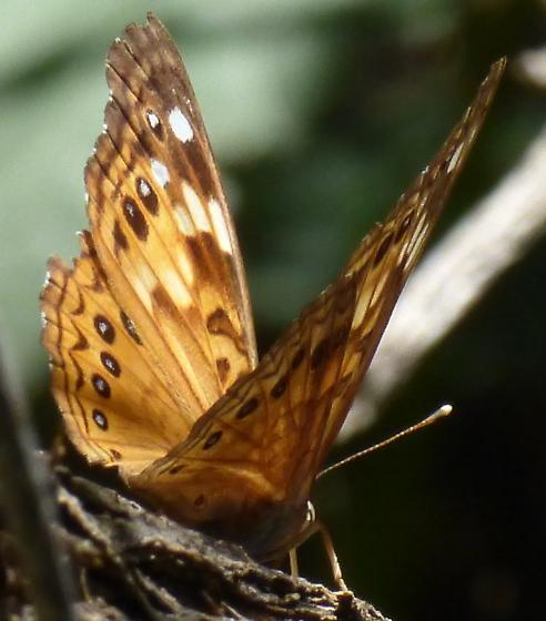 butterfly, Tawny Emperor ? - Asterocampa celtis