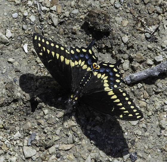 Early spring swallowtail - Papilio polyxenes