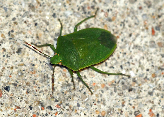 Green stink bug needs ID. - Nezara viridula