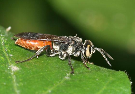 Mole Cricket Hunter - Larra bicolor - male