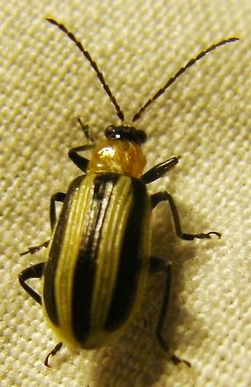 Western Striped Cucumber beetle - Acalymma trivittatum