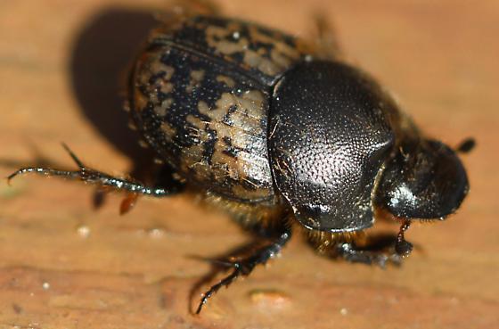 scarab beetle scarabaeidae onthophagus nuchicornis bugguide net