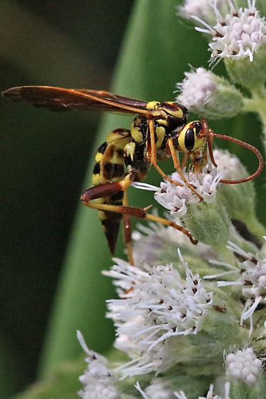 polistes morph colorful wasp of eupatorium - Banchus
