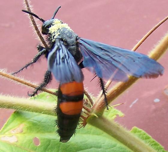Wasp, Scoliid? - Pygodasis ephippium - female