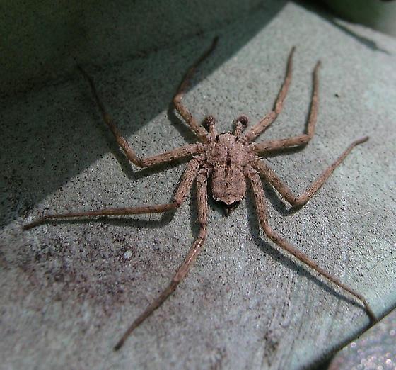 Flat Spider - Selenops - male