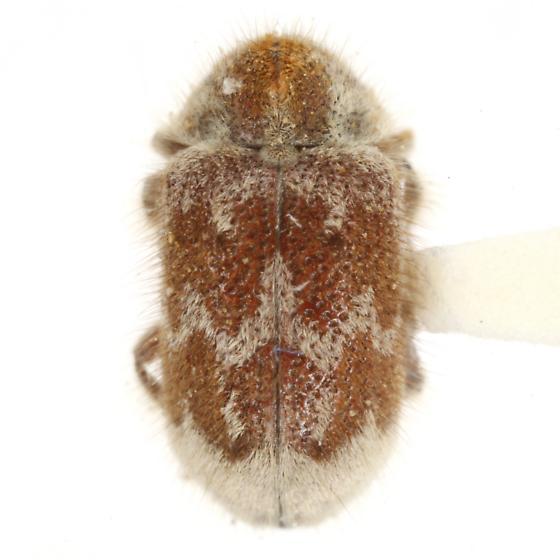 Trichodesma pulchella Schaeffer - Trichodesma pulchella