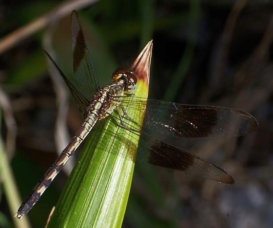 Band-winged Dragonlet (female, andromorph?) - Erythrodiplax umbrata - female