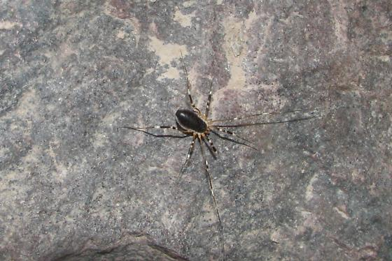 Spider with striped legs in the Sonoran Desert - Eurybunus