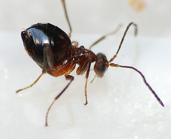 Wingless Gall Wasp - female