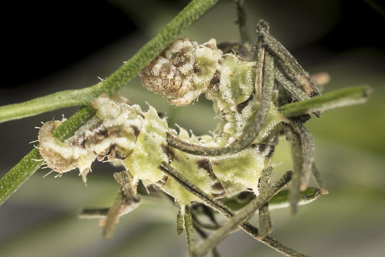 Caterpillar for Synchlora - Synchlora