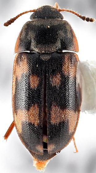 Mycetophagidae? - Litargus connexus