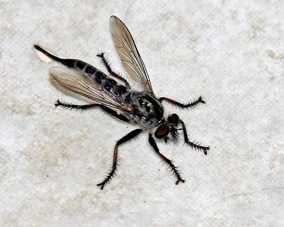 Robber Fly? - Efferia aestuans - female