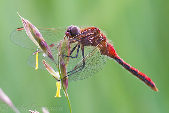 Cherry-faced Meadowhawk? - Sympetrum