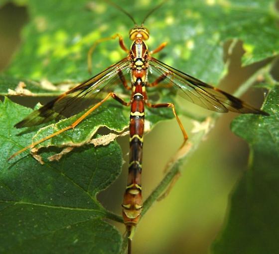 Female Ichneumonid I think Megarhyssa macrurus - Megarhyssa macrurus - female