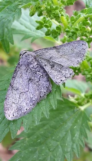 Mystery moth - Iridopsis fragilaria - female