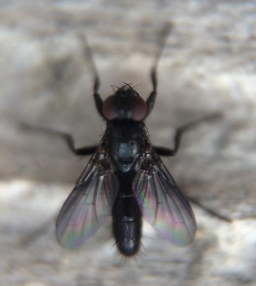 Melanophora roralis