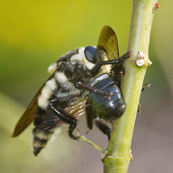 Family Asilidae - Robber Flies, ID please - Mallophora bomboides