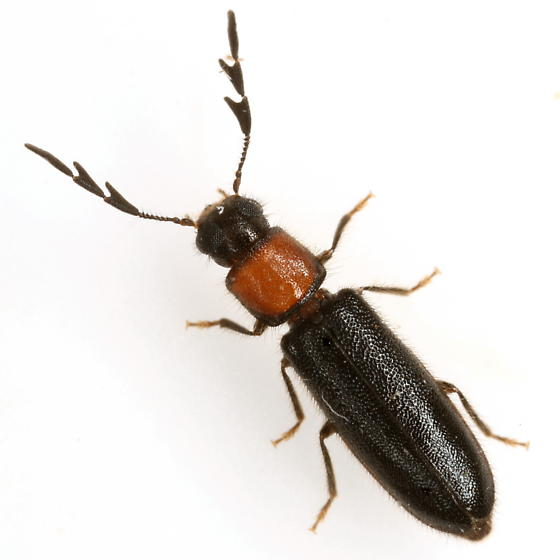 Neorthopleura thoracica (Say) - Neorthopleura thoracica