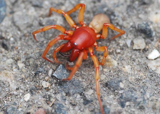 Pill Bug Hunter - Dysdera crocata - BugGuide Net