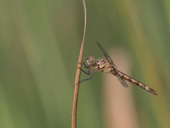 Which dragonfly? - Micrathyria hagenii - female