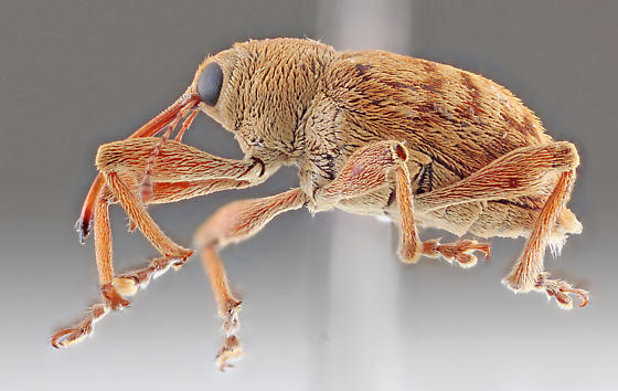 Curculionidae-1 - Curculio