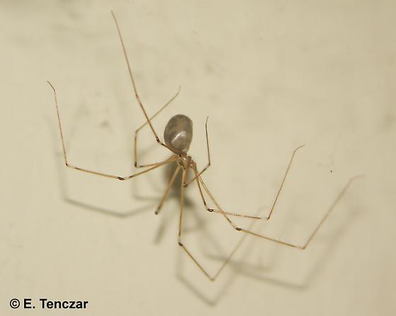 Pholcus sp. - Pholcus phalangioides - female