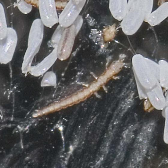 Zeugomantispa minuta - Green Mantisfly? laying eggs - Zeugomantispa minuta