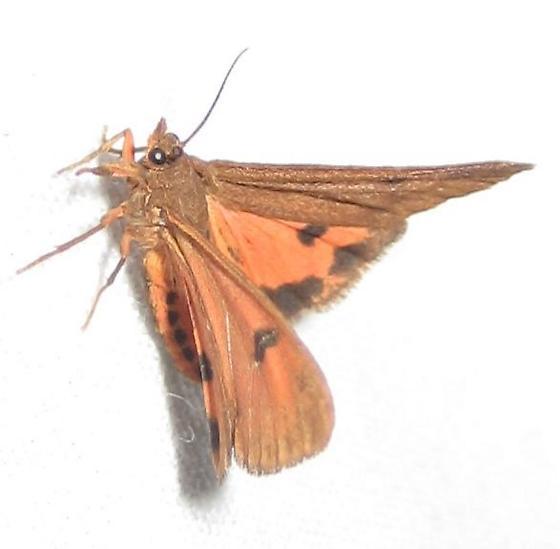 Holomelina at the UV - Virbia aurantiaca
