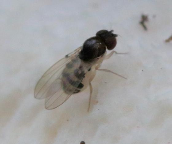 Probable Mycodrosophila - Mycodrosophila