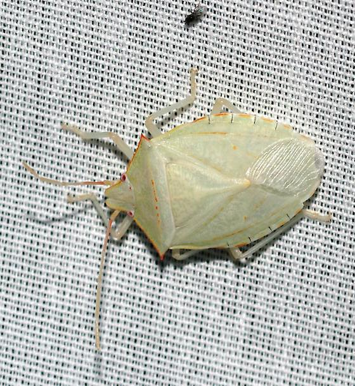 Huge, bright white - Chlorocoris werneri