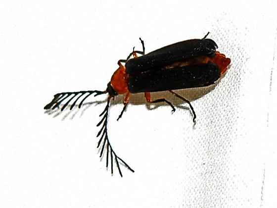 Douglas Fir Glowworm - Pterotus obscuripennis - Pterotus obscuripennis - male