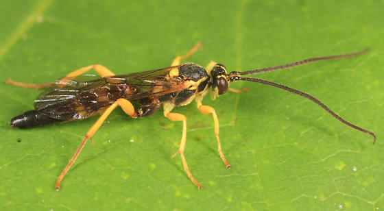 Ichneumon - Aoplus confirmatus - male