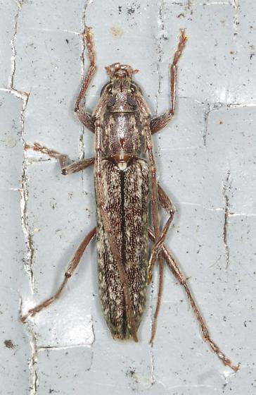 Black and brown beetle - Anelaphus parallelus