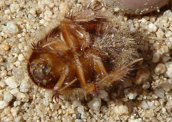 underside dune cockroach - Eremoblatta subdiaphana
