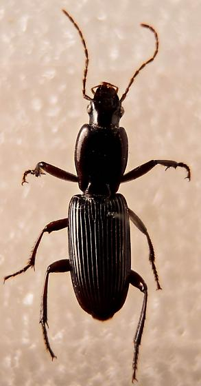 My what a long thorax you have... - Stenomorphus californicus