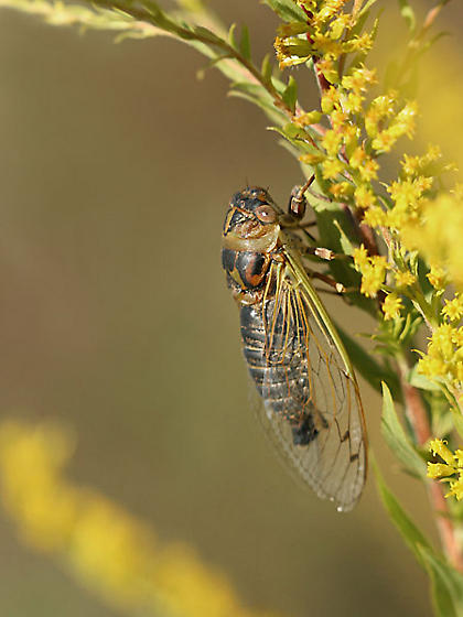Field Cicada (T. auriferus) - Neotibicen auriferus - male