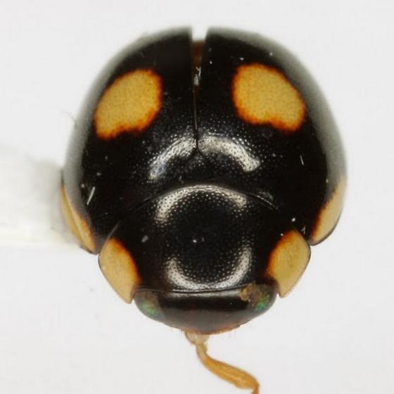 Hyperaspis octonotata Casey - Hyperaspis octonotata
