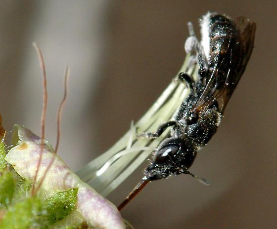 Chelostoma ? - Chelostoma - female