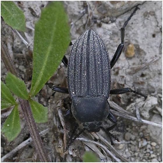 Black Beetle - Eleodes tricostata