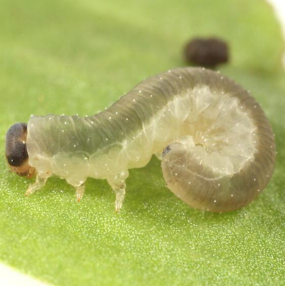 Sheep sorrel sawfly larva - Ametastegia equiseti