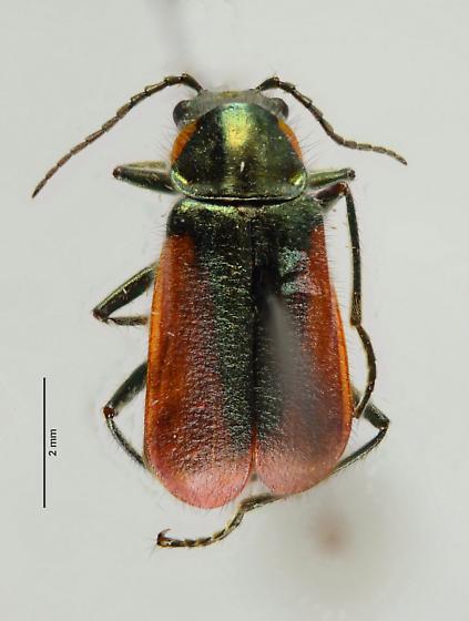 Another Malachiini? - Malachius aeneus - female