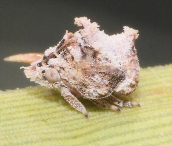Leafhopper on Sotol - Mistharnophantia