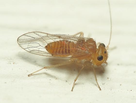 Hemipsocus sp.? - Hemipsocus chloroticus