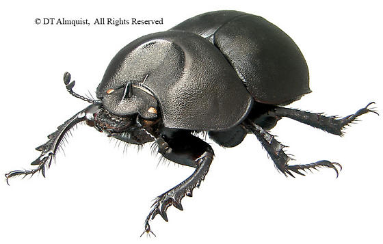 Mycotrupes cartwrighti - male