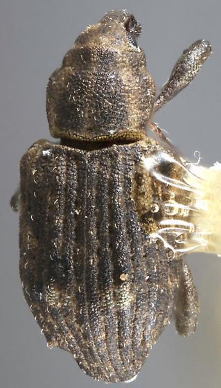 Bagous californicus