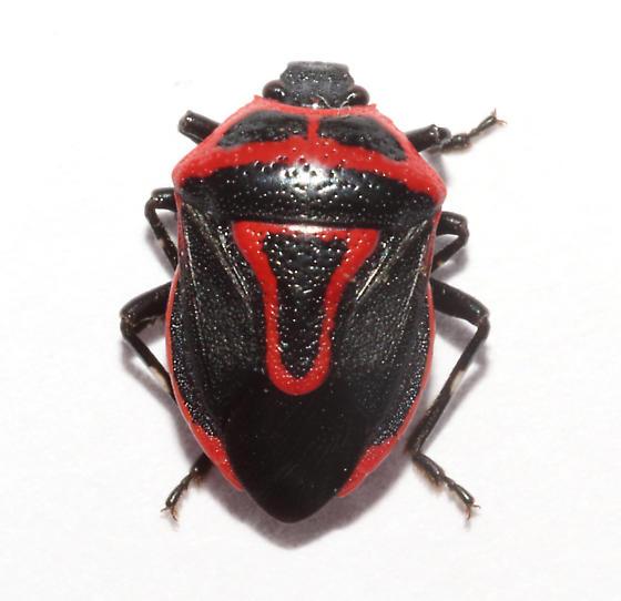 Pentatomidae, Two-spotted Stink Bug - Perillus bioculatus
