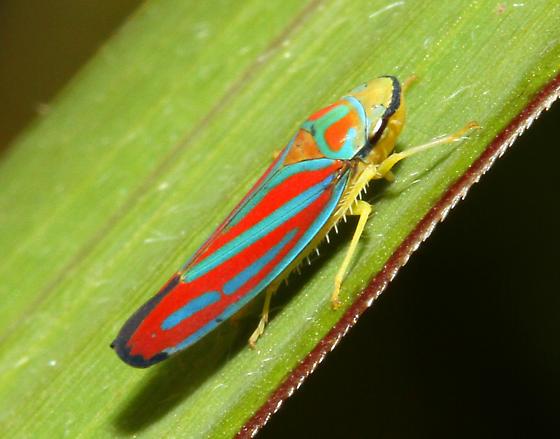 unidentified leafhopper - Graphocephala coccinea