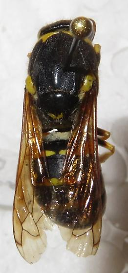 232 - Pseudomasaris vespoides