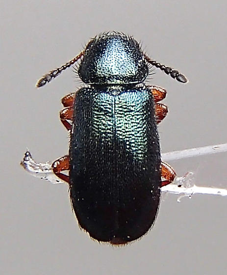 Beetle - Necrobia rufipes